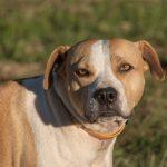 Staffordshire Terrier Américain