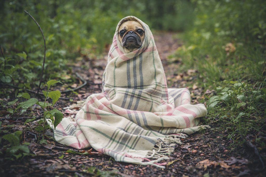 Chien avec une couverture